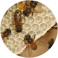 bee circle