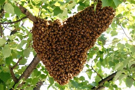 bee-swarm