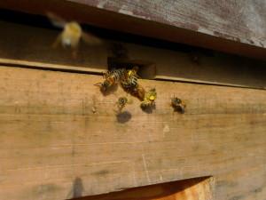 Bee bomb
